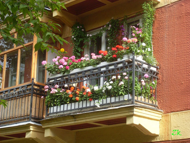 geran_na_balkone_____