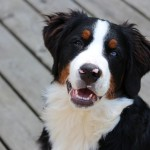 10 самых красивых пород собак в мире: выбери себе верного друга