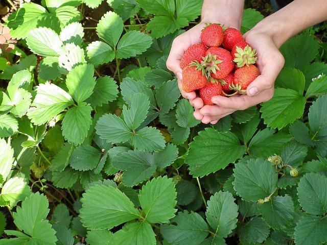 зачем пересаживать ягоды осенью