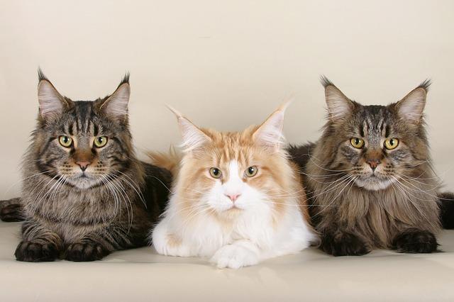 выбрать породу кота