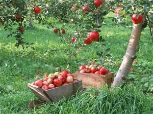 Что посадить осенью: 8 главных фруктовых деревьев и кустарников