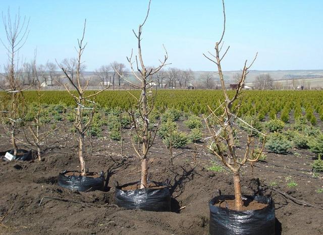 как правильно посадить фруктовое дерево осенью