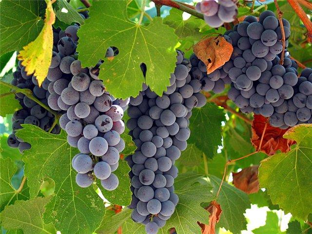 как посадить виноград осенью