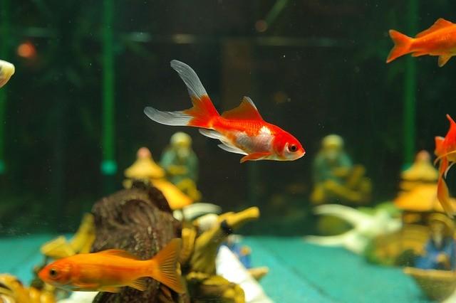 как правильно ухаживать за аквариумными рыбками