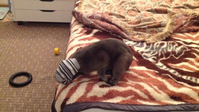 Кот нюхает носки