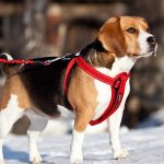 Шлейка Или Ошейник: Что Выбрать Для Своей Собаки?