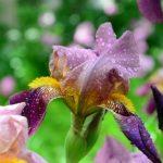 Посадка ирисов осенью: главные секреты садоводства