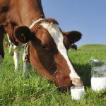 Что будет, если корову долго не доить: неожиданные открытия