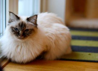 Будущим кошатникам на заметку или разбираем, какой кот лучше для дома