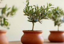 Почему домашние растения сбрасывают листья зимой?