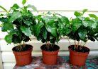 Как вырастить кофейное дерево дома: от росточка до чашки напитка