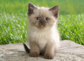 5 самых красивых пород котов в мире: выбери себе домашнего любимца